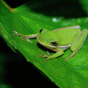 Tree Frog On Hibiscus Leaf Poster