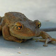 Tree Frog Out For A Walk Poster
