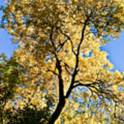 Tree In Fall Poster