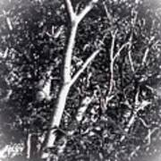 Tree In Summer In Black And White Poster