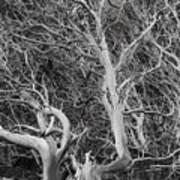 Tree Near Wawona Poster