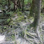 Tree Roots And Lithia Springs Poster