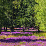 Tree Stumps In Common Heather Field Poster