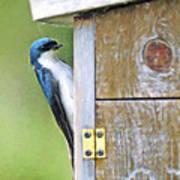 Tree Swallow At Nesting Box Poster