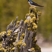 Tree Swallow Poster