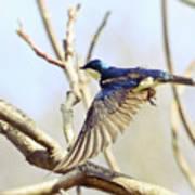 Tree Swallow In Flight Poster