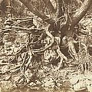 Tree With Tangle Of Roots Poster