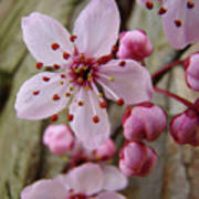 Trees Art Prints Canvas Pink Blossoms Spring Blue Sky Baslee Troutman Poster