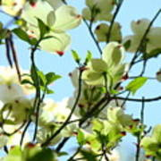 Trees White Dogwood Flowers 9 Blue Sky Landscape Art Prints Poster