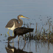 Tri-colored Heron And Glossy Ibis Poster
