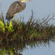 Tri-colored Heron And Reflection Poster