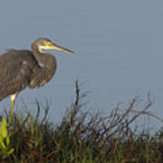 Tri-colored Heron In The Morning Light Poster