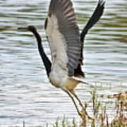 Tri Colored Heron Takeoff Poster