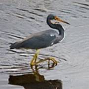 Tri-colored Heron Wading In The Marsh Poster