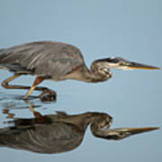 Tricolor Heron Hunting Poster