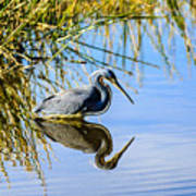 Tricolored Heron 2 Poster