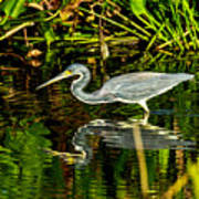 Tricolored Heron 5 Poster