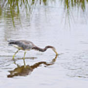 Tricolored Heron Grabs A Bite Poster