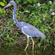 Tricolored Heron Hunting Poster