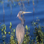 Tricolored Heron In Monet Like Setting Poster