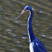 Tricolored Heron Pose Poster