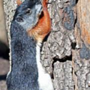 Tricolored Squirrel Poster