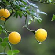 Trifoliate Orange Poster