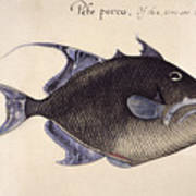 Trigger-fish, 1585 Poster