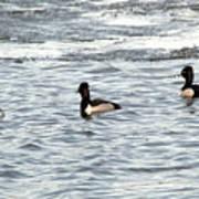 Trio Of Ducks Poster
