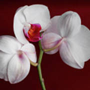 Trio Of Orchids Poster