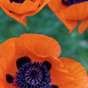 Trio Of Poppies Poster