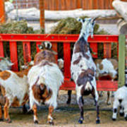 Trip Of Goats At Feeding Time Poster