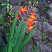 Tropical Orange Lily Poster