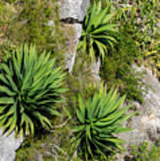 Agave Plants On Rocky Slope Poster