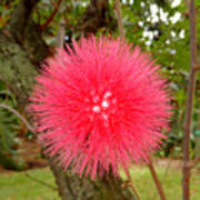 Tropical Red Puff Poster