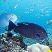 Tropical Reef Fish Poster