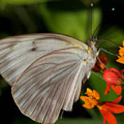 Tropical White Butterfly Poster by April Wietrecki Green