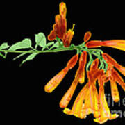 Trumpet Vine, X-ray Poster