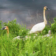 Trumpeter Swan Family - Portrait Poster