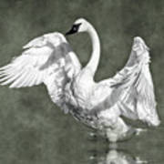 Trumpeter Swan In The Fog Poster