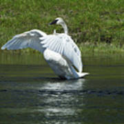 Trumpeter Swan On The Madison River Poster