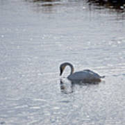 Trumpeter Swan Yellowstone Poster