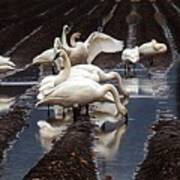 Trumpeter Swans In Bow Poster