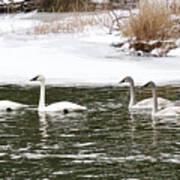 Trumpter Swans Panorama Poster
