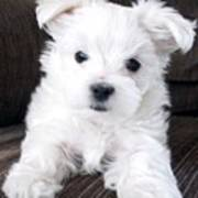 Tsheyka The Maltese Pup Poster