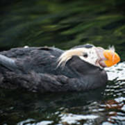 Tufted Puffin Poster