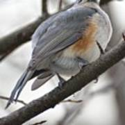 Tufted Titmouse 04 Poster