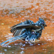Tufted Titmouse Bath Poster