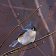 Tufted Titmouse In Winter Poster