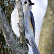 Tufted Titmouse On Dogwood Poster